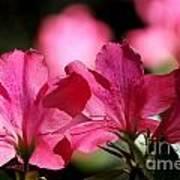 Azalea Blossoms Poster