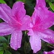 Azalea's In Spring Rain #1 Poster