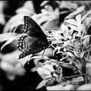 B N W Butterfly Poster