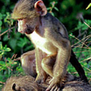 Baboon Baby Poster