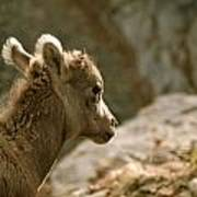 Baby Big Horn Sheep Poster