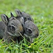 Baby Bunnies Poster