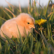 Baby Chick In Green Grass Poster by Cindy Singleton