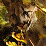 Baby Cougar Playing Peek A Boo In Autumn Forest Poster