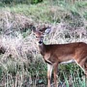 Baby Deer At Viera Poster