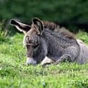 Baby Donkey Poster