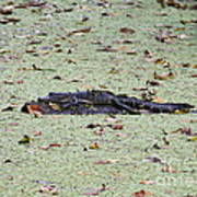 Baby Gator In The Swamp Poster