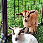 Baby Goats Poster