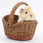 Baby Guinea Pig In A Wicker Basket Poster