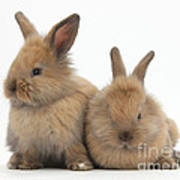 Baby Lionhead Rabbits Poster