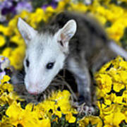 Baby Opossum In Flowers Poster