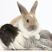 Baby Rabbit And Long-haired Guinea Pig Poster