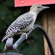 Baby Redbellied Woodpecker Poster