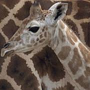 Baby Rothschild Giraffe  Poster