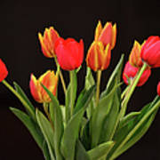 Baby Tulips Poster