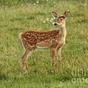 Baby Whitetail Fawn In A Spring Meadow Poster