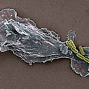 Bacteria And Neutrophil Cell, Sem Poster