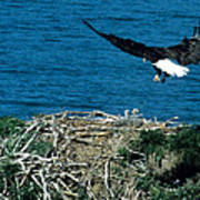 Bald Eagle And Chicks Poster