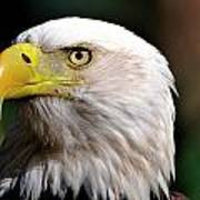 Bald Eagle Close Up Poster