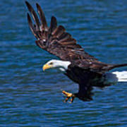 Bald Eagle On The Hunt Poster