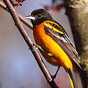 Baltimore Oriole Iv Poster
