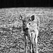 Bambi In Black And White Poster