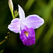 Bamboo Orchid Poster
