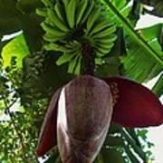 Banana Bloom Poster