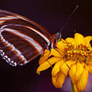 Banded Orange Heliconian Dryadula Phaetusa Poster