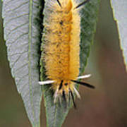 Banded Tussock Moth Caterpillar Poster