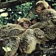 Barbary Apes Macaques Babies Budddies Gang Poster