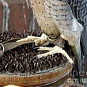 Barbary Falcon Feet Poster