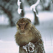 Barbary Macaque Macaca Sylvanus Male Poster