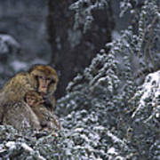 Barbary Macaque Male With Infant Poster