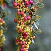 Barberry (berberis Sp.) Poster