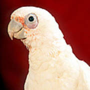 Bare Eyed Cockatoo Poster