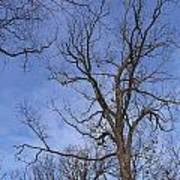 Bare Trees With Blue Sky Poster