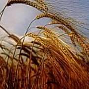 Barley, Co Meath, Ireland Poster