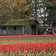 Barn Surrounded By Tulips Poster