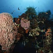 Barrel Sponge On Liberty Wreck, Bali Poster
