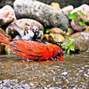 Bathing Cardinal Poster
