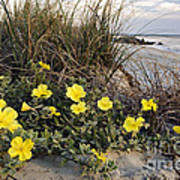 Beach Evening Primrose On Folly Beach - D001782 Poster