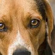 Beagle Hound Dog Eyes Of Love Poster