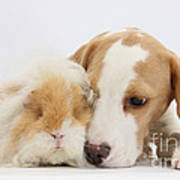 Beagle Pup And Alpaca Guinea Pig Poster