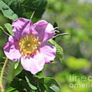 Beaming Wild Rose Poster