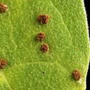 Bean Leaf With Rust Pustules Poster