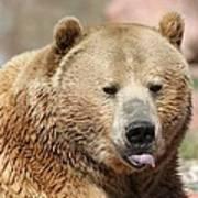 Bear Rasberry Poster