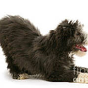 Bearded Collie Pup Poster