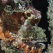 Bearded Scorpionfish, Indonesia Poster