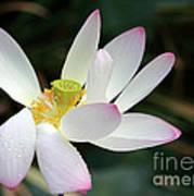 Beatutiful Wet Lotus Poster